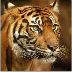 Sumatran tiger (Panthera tigris sumatrae) is the smallest one of the tiger subspecies. It is found only in the Sumatra Island, Indonesia. Fewer than 300 exist in the wild today.
