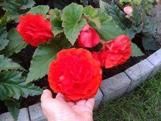 Begonia, Horticulture, Orchids, Rose, Gardening, Erika, Gardens, Vegetable Gardening, Garden Planning