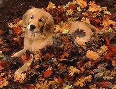 """I never realized how beautiful #GoldenRetriever's were until I started following @goldengoodnessinfinity !! This isn't her dog, but he's gorgeous like hers as well!! Check out her cute little """"Pippy"""" and Oatmeal as they spend their lavish days living as human as possible. You'll honestly thank me. Her page makes me smile daily ❤️"""