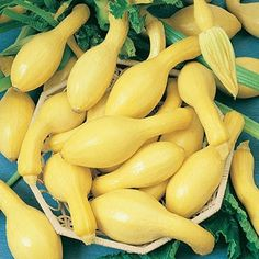Squash Summerpac Hybrid in The Big Seed Book from Park Seed on shop.CatalogSpree.com, my personal digital mall.
