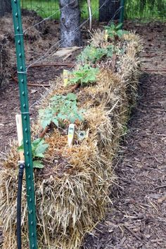 What works better in straw bale gardens? Seedlings or seeds?
