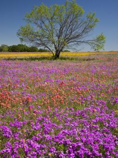 Photographic Print: Spring Mesquite Trees Growing in Wildflowers, Texas, USA by Julie Eggers : Mesquite Tree, Mesquite Texas, Spring Scenery, Growing Tree, Daffodils, Wild Flowers, Meadow Flowers, Paper Flowers, Beautiful Landscapes