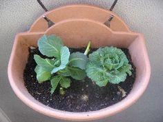 植物_1-ch184658 | 写真共有 - gooブログ「フォトチャンネル」 070216キャベツの芯 004_1