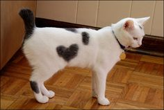 Tailless cats Breeds occur through random mutation. There are a few naturally occurring tailless cat breeds or short tail cats around the world. Japanese Bobtail, Japanese Cat, Gato Bobtail, I Love Cats, Cool Cats, Manx Cat, Heart In Nature, Sam And Cat, Cat Valentine