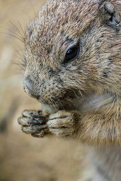 Prairie Dog having a snack -