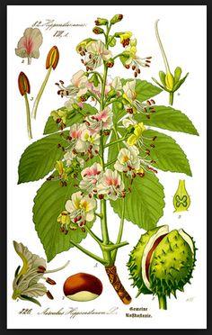 Propiedades medicinales del Castaño de Indias ecoagricultor.com
