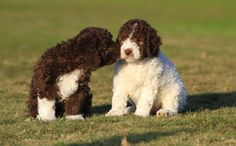 Lagotto Romagnolo puppies showing some love.