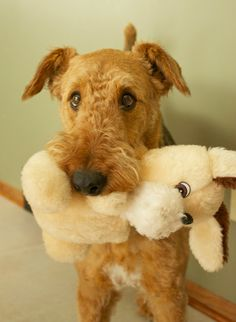 Piper's favorite toy - Standard Airedale