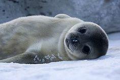 Leopard Seal | Animals Zone
