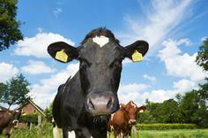 De koeien op FarmCamps Hoeve Sonneclaer.