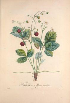 les fraises fashion illsutartion - Google Search
