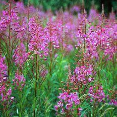Rosey Fireweed Flower Seeds/Epilobium Angustifolium/Perennial    60+