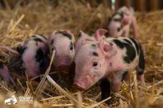 Dasher, Dancer, Prancer, Vixen, Comet, Cupid, Donder and Blitzen. | These Rescued Piglets Will Melt Your Heart