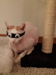 http://ift.tt/2fTPVDL blind cat finally got prosthetic eyes!