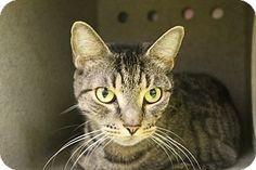 Philadelphia, PA - Domestic Shorthair. Meet REMI, a cat for adoption. http://www.adoptapet.com/pet/14012318-philadelphia-pennsylvania-cat