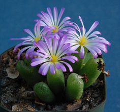 Conophytum smorenskaduense  An odd one in many ways besides the name, flowers in winter that last as long as three weeks.