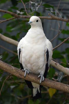Pied Imperial Pigeon | Bonte muskaatduif (Ducula bicolor) Bi… | Flickr