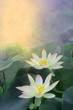 153 Best Lotus Flowers Water Llilies Images Beautiful Flowers