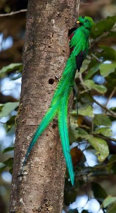 Foto QUETZAL BEAUTIFUL BIRD