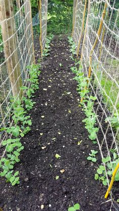 Peas and broad beans planted up for a summer harvest to feed us while we grow the flowers on the farm!