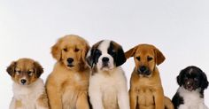 Can You Match The Puppy To The Breed?