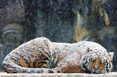 sleeping tiger in the snow