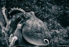 https://flic.kr/p/EPQVF9 | caught in a corner | Octopus caught in a corner at Atlanterhavsparken aquarium in Ålesund - Norway