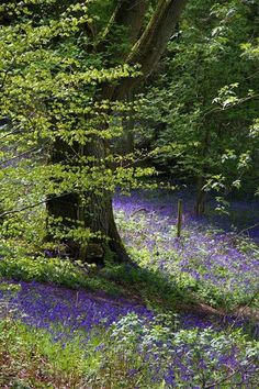English woodlands are often carpeted with Bluebells in Spring. The perfume in the air is amazing! Beautiful World, Beautiful Places, Beautiful Pictures, Photo D Art, Walk In The Woods, English Countryside, Land Scape, Wonders Of The World, Mother Nature