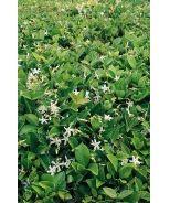 Asian Star Jasmine (Trachelospermum asiaticum) - Monrovia - Asian Star Jasmine (Trachelospermum asiaticum)