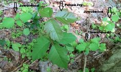What Does Jewelweed Look Like | Jewelweed is a great remedy for Poison Ivy