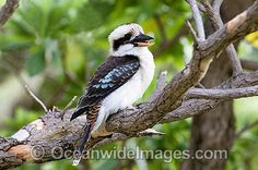 native australian birds - Google Search