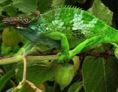 Chameleon (Chamaeleonidae) , today he's green, tomorrow, who knows?
