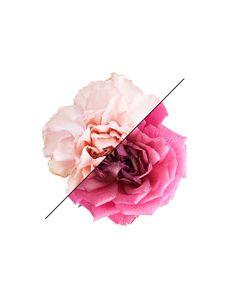 Carnation  Rose. 8x10. Fine Art Photographic by MilesOfLight
