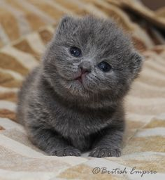 blue british shorthair cat - this is the one kind of cat I could live with with my allergies.  Too cute too!