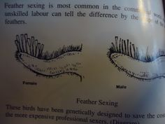 Feather sexing your chicks