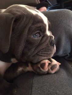 this is an old english bull-dog but it looks like a bug!!(boston terrier and pug mix)