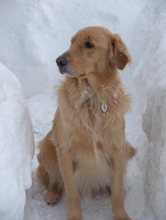 Golden Retriever  Walking in a Winter Wonderland