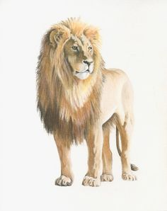 Lion drawing original - pastel pencil - 8 x 10 inches- small wildlife animal drawing by Vanessa Lopez