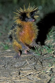**Lowland Streaked Tenrec - The tenrec is a mammal of the family Tenrecidae, found on Madagascar and in parts of the African mainland. Tenrecs are widely diverse; they resemble hedgehogs, shrews, opossums, mice and even otters. Interesting Animals, Unusual Animals, Rare Animals, Cute Baby Animals, Animals And Pets, Funny Animals, Strange Animals, Beautiful Creatures, Animals Beautiful