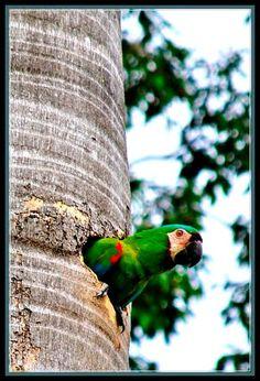 Aves de Venezuela, Guacamaya en El Castaño, Maracay. Venezuela