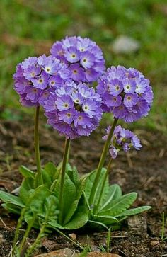 Expand Good Tomatoes Working With Container Gardening Techniques Primula Acaulis Purple Primula Exotic Flowers, Amazing Flowers, Purple Flowers, Wild Flowers, Beautiful Flowers, Simply Beautiful, Arrangements Ikebana, Flower Arrangements, Primula Denticulata
