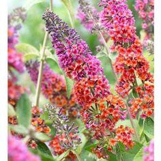 Schmetterlingsflieder Flower Power (Buddleja davidii Flower Power