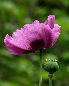 Papaver Somniferum - purple poppy
