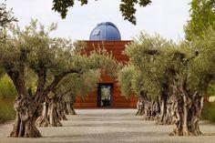 old olive trees allée