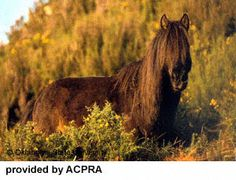 Breeds of Livestock - Asturian Horse — Breeds of Livestock, Department of Animal Science Small Horse Breeds, Small Breed, Asturian, Animal Science, My Ride, Livestock, Beautiful Horses, Middle Ages, Pony