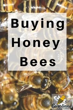Do you want to buy some honey bees? It's rather easy to do, but these tips will help you make the best choices. How To Start Beekeeping, Beekeeping For Beginners, Honey Bee Hives, Honey Bees, Bee Hive Plans, Raising Bees, Buy Honey, Backyard Beekeeping, Bee Friendly