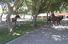 California Chrome walks by his sire, Lucky Pulpit, upon his return to Harris Farms Wednesday.