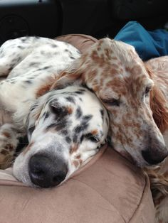 Ryman English setter brothers, Harry Flashman and Leon Redbone. Cute Baby Animals, Animals And Pets, English Setters, Gordon Setter, Irish Setter, Springer Spaniel, Dog Show, Newfoundland, Puppy Love