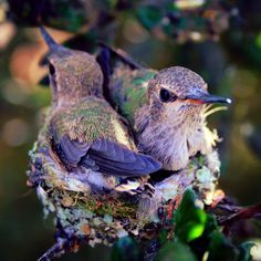 Tiny baby hummingbirds