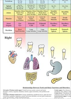 Acupuncture Meridian Relationships Between Teeth and Body Organs Dental Poster X Chart Tooth Nerve, Tooth Pain, Acupuncture Points Chart, Parotid Gland, Dental Posters, Tooth Chart, Muscle Anatomy, Alternative Therapies, Body Organs